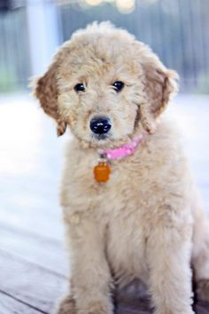 Golden Doodle - This is my dream dog!