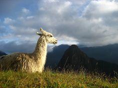 Llama Sunrise #travel #Peru