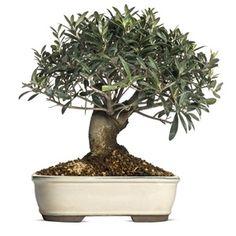 Jak pěstovat olivy v květináči