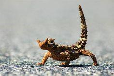 Thorny Devil is a native desert animal