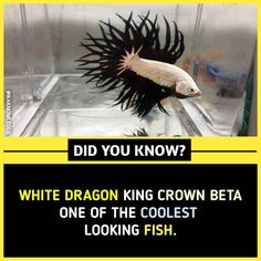 White Dragon king crown beta one of the coolest-looking fish.