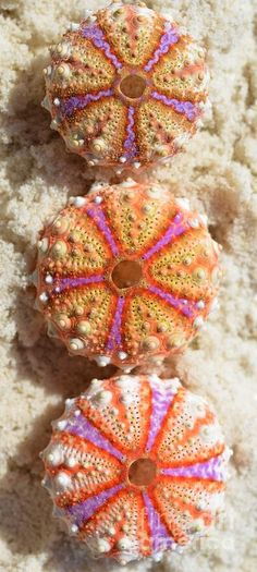 unbelievable bright colors of the sea urchins shells