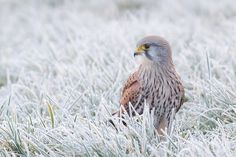 Photograph Common Kestrel in ripe! by Tom  Kruissink on 500px