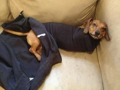 We found him like this in the morning. Weiner dog problems.