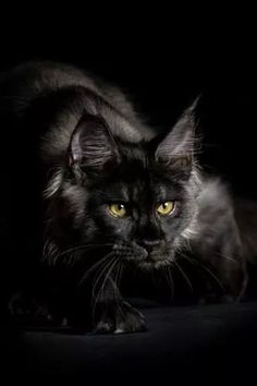 Black Smoky Main coon cat.