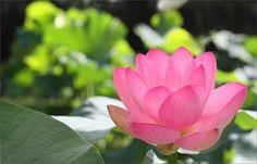 Lotus Flower | Lotus Flower | Bahman Farzad | Flickr