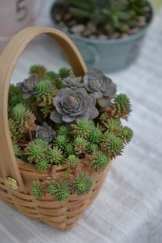 basket of sedum