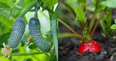 pestovanie zeleniny v roku 2019 Salvia, Eggplant, Stuffed Peppers, Organic, Vegetables, Gardening, Plant, Culture, Sage