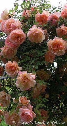 Teerosen - Historische_Rosen - Rosen - Rosen von Schultheis