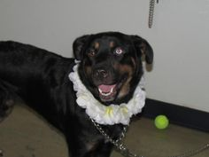 ●8•30•16 SL●Laverne is a female Shepherd/Rottweiler mix that came to Richland County Dog Warden in Mansfield,OH with her best friend Shirley on 08/15/16.