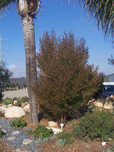 The 2 Minute Gardener: Photo - Hopseed Bush (Dodonaea viscosa)