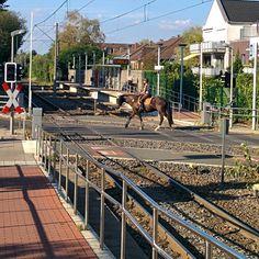 Yes, you see well. Horse vs tram  #horse #riding #tram #train #dusseldorf #düsseldorf #kaiserswerther #track #road #horsebackriding #railway #crossroad #railroad #love #beautifulday #lovely #animal