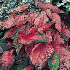 Caladium hortulanum 'Pink Beauty' - Fancy Leaf Caladium www.vanbloem.com #vanbloemgardens #flowerbulbs #caladium
