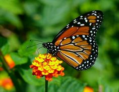Grabbing the beauty! Migrating Monarch on Lantana, Inman, SC Butterfly Photos, Bugs And Insects, Pictures To Paint, Beautiful, Butterflies, Macro Photo, Phobias, Tatoos, Bees