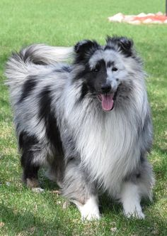 The Shetland Sheepdog originated in the and its ancestors were from Scotland, which worked as herding dogs. These early dogs were fairly Beautiful Dogs, Animals Beautiful, Cute Animals, Blue Merle Sheltie, Shetland Sheepdog Puppies, Herding Dogs, Rough Collie, Tier Fotos, Dog Life