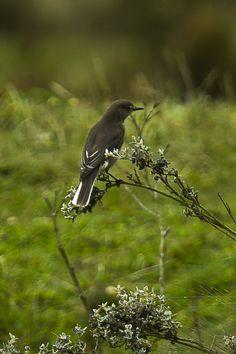 White-tailed Shrike-tyrant (Agriornis andicola)
