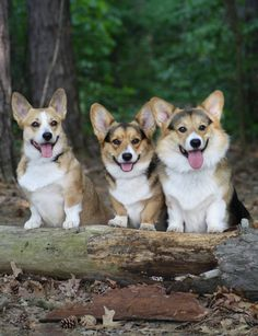 The Best Things in Life Are Three: Pembroke Welsh Corgis ready to roll ©Wendt Worth Corgis