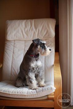 Toby, My Love by Shelley Paulson #Miniature #Schnauzer