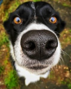 Nose #Orson #bordercollie #December #dogsofinstagram #edit #Snapseed #iphotography #inspiration Snapseed, Border Collie, My Photos, December, Dogs, Animals, Inspiration, Biblical Inspiration, Animales