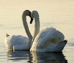 Cisnes - Swans