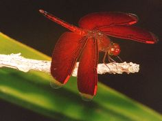 dragonflies pictures | More Powerful than Helicopters