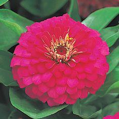 Dreamland Rose Hybrid Zinnia Seeds