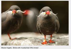 Mooie Vogels: mustache birds!!!