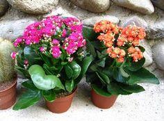 5 основных причин, почему не цветёт каланхоэ