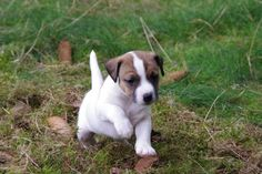 Cool Jack Russell Terrier Puppy Images