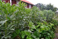 Den här grunden för en samplantering borde alla odlare ha i trädgården! Jordgubbar är ett bra sällskap till mycket!