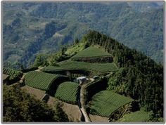 Tai Wan Ali Shan Ooloog Tea Garden