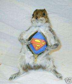 Taxidermy: Wild Grey Super Squirrel