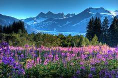 Alaskan Fireweed | mendenhall glacier