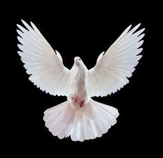 Frei fliegende weisse Taube