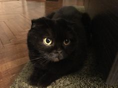 Black cat scottish fold Zoe