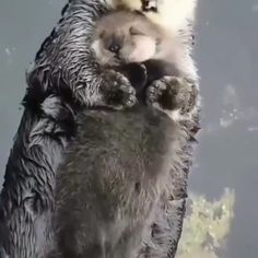 Baby Otter 038 Mom Baby Otter 038 Mom LIV TORRES livtorreslt ANIMALS Newborn sea otter pups are so buoyant they can t immediately nbsp hellip food videos Cute Little Animals, Cute Funny Animals, Cute Dogs, Otters Funny, Otters Cute, Funny Owls, Otter Pup, Otter Meme, Baby Otters
