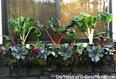 Edible window box garden for fall. Swiss Chard, cabbage and pansies.