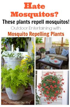 mosquito repelling plants: good to have a few of these on the deck during the summer