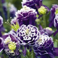 Aquilegia Plant - Double Pleat - Plants Attractive to Bees - Wildlife Attracting Plants - Flower Plants - Gardening - Suttons Seeds and Plants