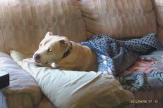 This shows the number one reason why Pitbulls should be feared... they will steal your pillow and blankets.