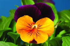 Viola cornuta Penny Orange Jump Up