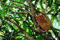 Asia   PHILIPPINE TARSIER (Carlito syrichta) Philippine tarsier (carlito syrichta) kilala sa tawag na mawmag ng mga Cebuano/Visayan at mamag naman sa Luzon, sikat na sikat ito sa PILIPINAS lalo na sa Bohol, Samar, Leyte at Mindanao.