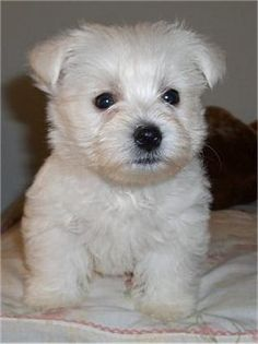 Some Yorkshire Terriers are liver or chocolate, a brown colour; Westie Puppies For Sale, White Puppies, Puppies Tips, Terriers, Terrier Dog Breeds, Westies, Little Dogs, Chien Yorkshire Terrier, West Highland Terrier Puppy