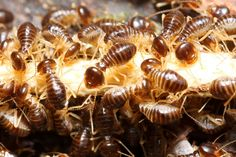 Are you trying to prevent a termite infestation? Is your biggest worry the effects that chemical laden pesticides might have on your home and yard? Here are a few natural home remedies for termite control that work wonderfully as prev Termite Inspection, Meme Design, Termite Control, Bees And Wasps, Citrus Oil, Pest Control Services, Humming Bird Feeders, Garden Guide, Spearmint Recipes