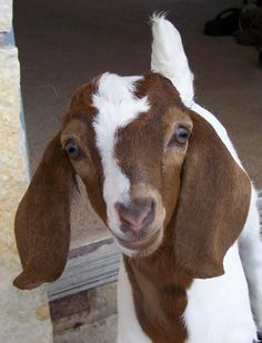 Boer Goats are so precious. Farm Animals, Animals And Pets, Cute Animals, Cabras Boer, Goat Picture, Goat Paintings, Show Goats, Nubian Goat, Goat Art
