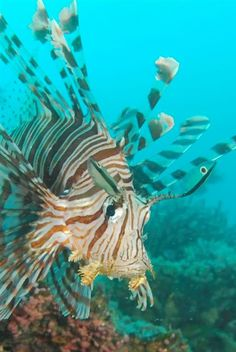 Lion Fish-invasive predator eating all the little reef fish. Speer it and eat it. Delicious and delicate with a wonderful flavor. If you see Lion fish on the menu order it!