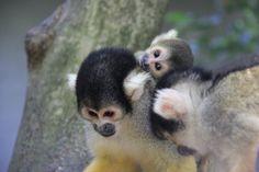 Squirrel Monkey at Taronga Zoo