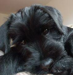 Black Standard Schnauzer Puppy Close up