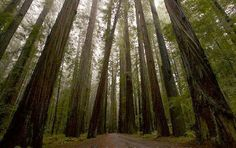 The tallest tree in the world is a coast redwood (Sequoia sempervirens), named Hyperion after a person in Greek mythology. He is no less than 115.55 m (379.1 feet) tall!