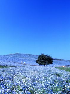 """Nemophila Harmony at Hitachi Seaside Park in Hitachinaka, Ibaraki, Japan. The park is in full bloom during spring and tourists often visit to see million """"baby blue-eyes"""" flowers blossom. Ibaraki, Places To Travel, Places To See, Places Around The World, Around The Worlds, Wonderful Places, Beautiful Places, Hitachi Seaside Park, Nature Pictures"""